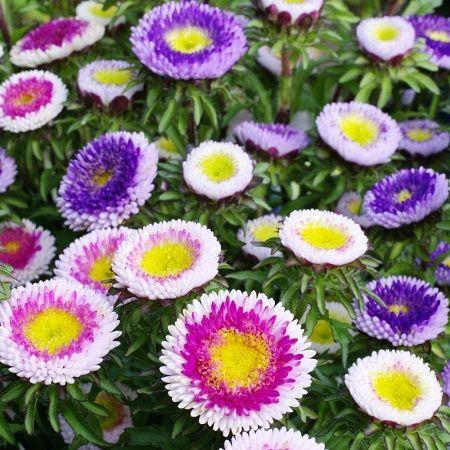 Aster Seeds Pompon Hi No Maru Mix Aster Flower Flower Seeds Flowers