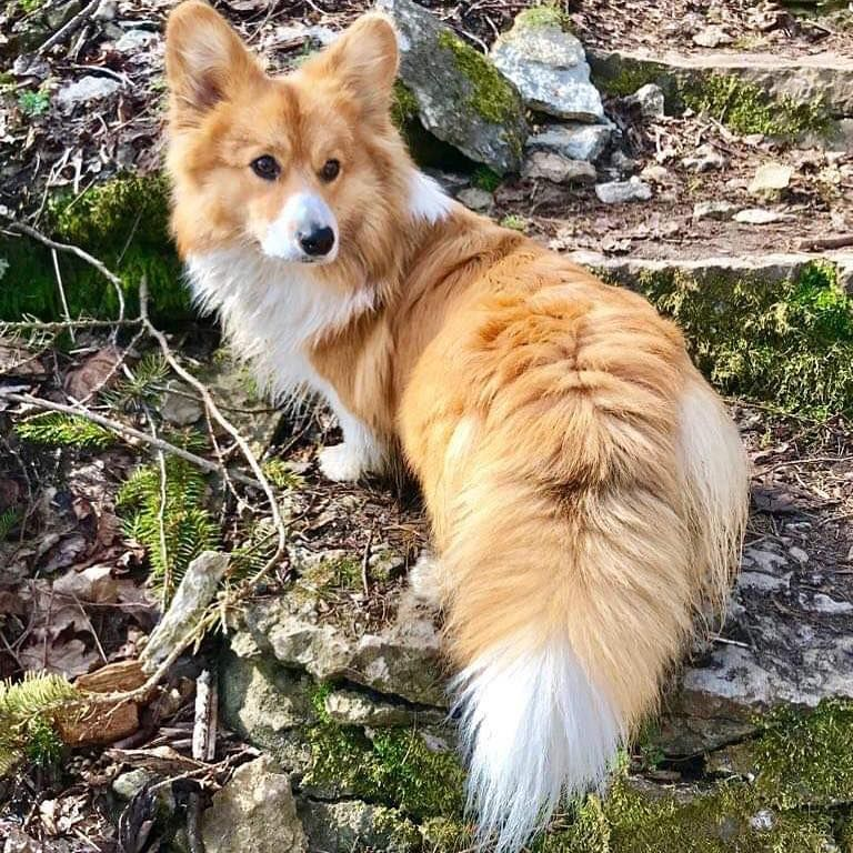 This Corg Has The Most Magnificent Floofy Tail Kingdomofcat Guru