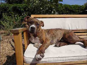Rocky Is An Adoptable Boxer Dog In San Jose Ca Hi I M Rocky I