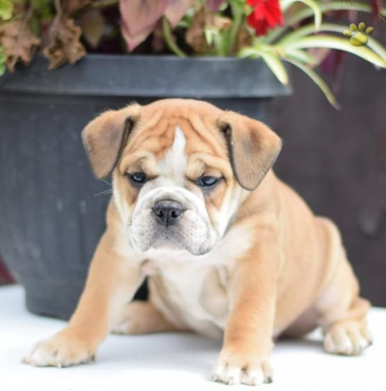 Bailey English Bulldog Puppy For Sale In Baltic Oh Buckeye