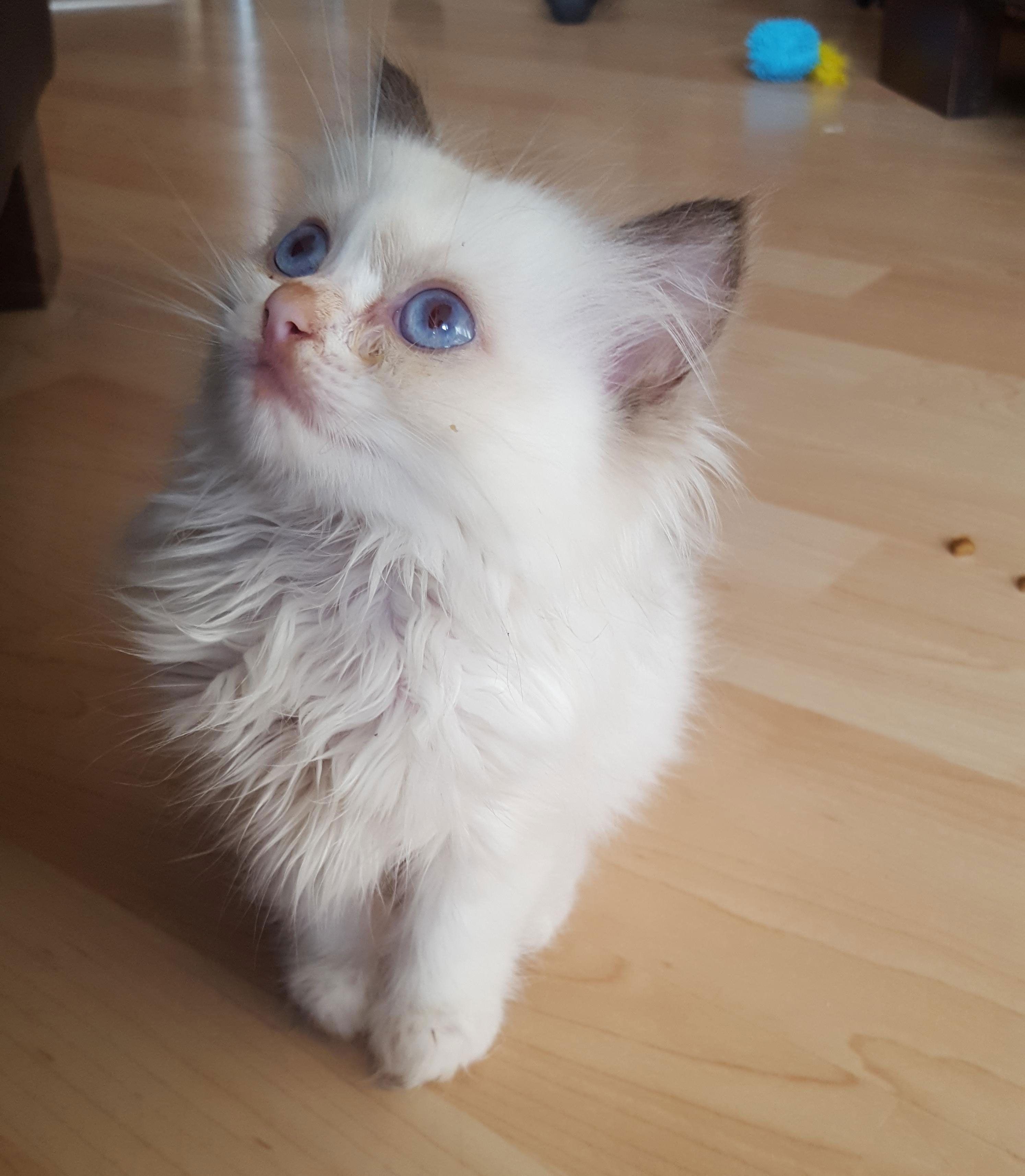 Meet Ragnar the most beautiful cute fluffy blue eyed Ragdoll