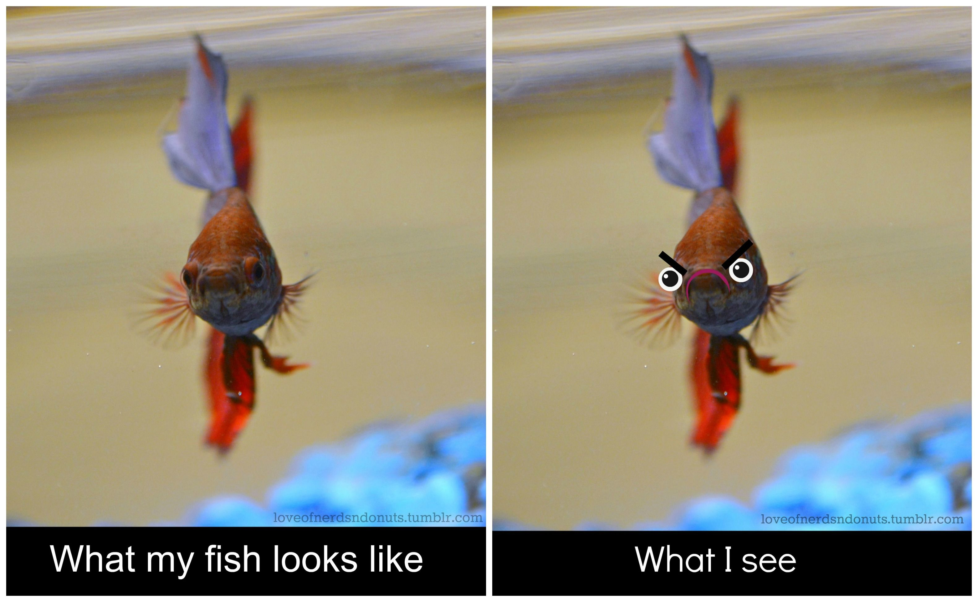 betta fish are too funny Funny animal memes, Cute funny