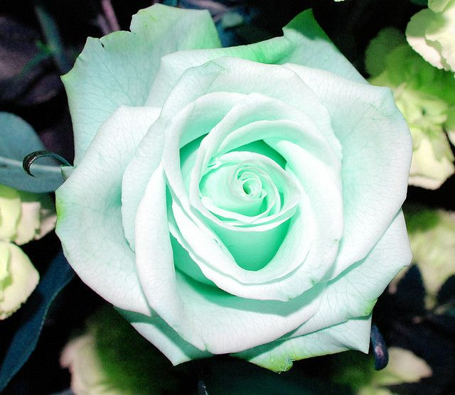 Mint green rose green rose mint green and rose for Green colour rose images