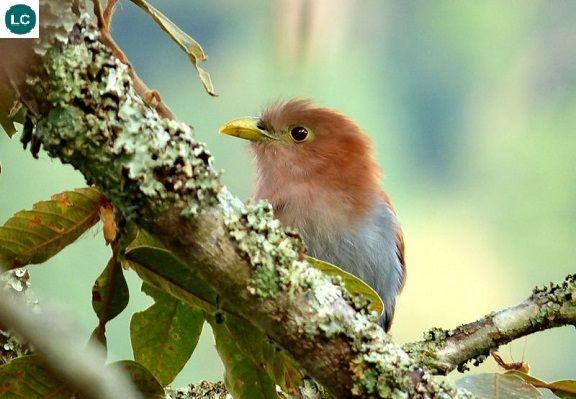 https://www.facebook.com/WonderBirdSpecies/ Phướn Sóc; Họ Cu cu-Cuculidae/Cuckoo; Trung và Nam Mỹ || Squirrel cuckoo (Piaya cayana); IUCN Red List of Threatened Species 3.1 : Least Concern (LC)(Loài ít quan tâm).