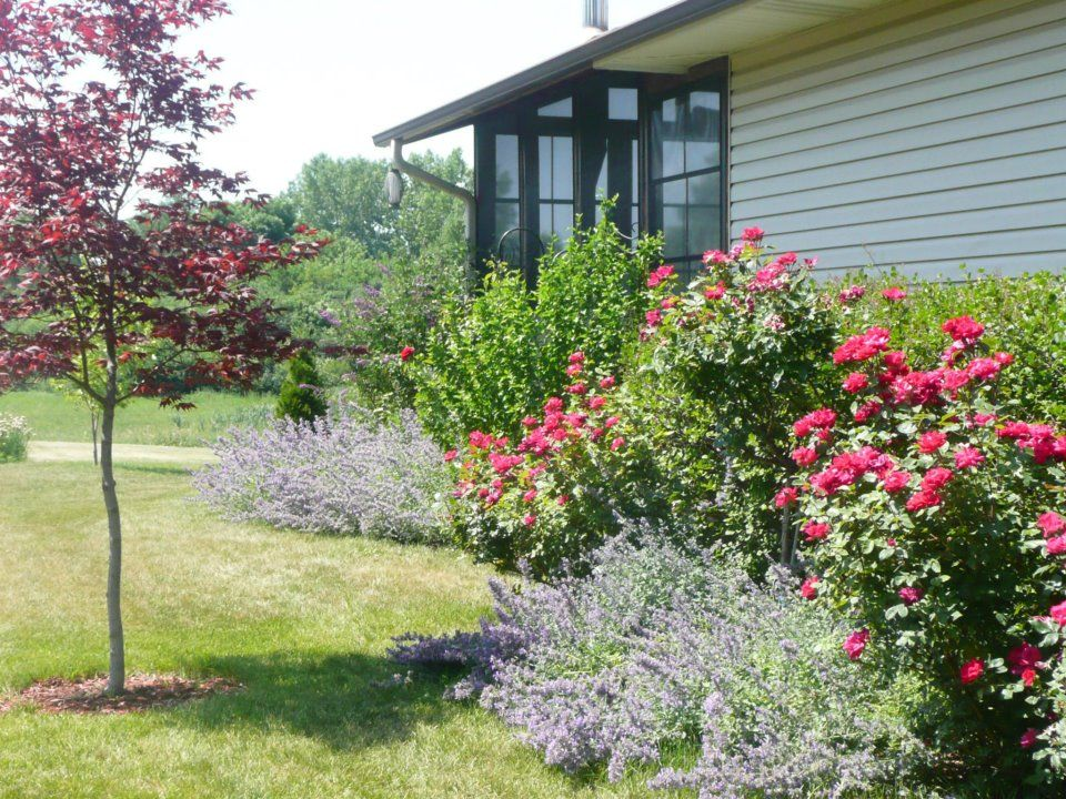 japanese maple knockout roses and catmint side garden 2012 - Garden Ideas 2012