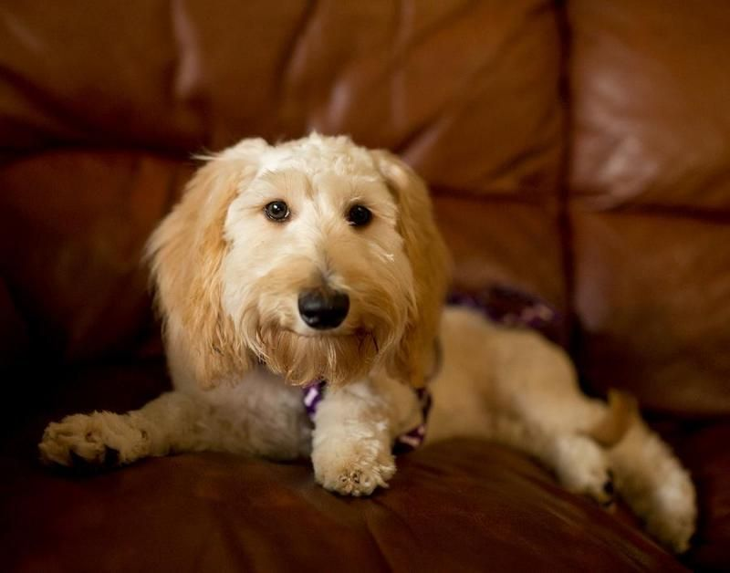 Adopt Latte On Petfinder Rescue Puppies Dog Adoption Dogs And