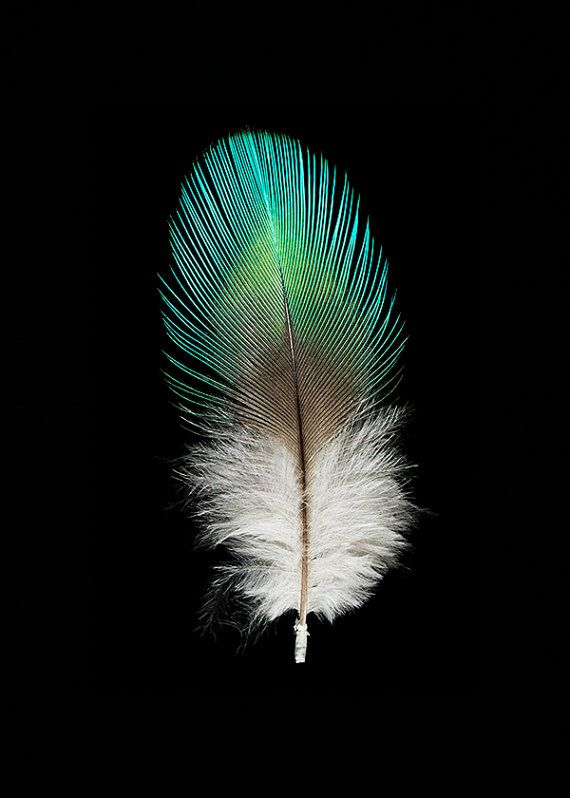 Fluffy Nature Photography - Wall Decor Feather Photograph Feather Fine Art