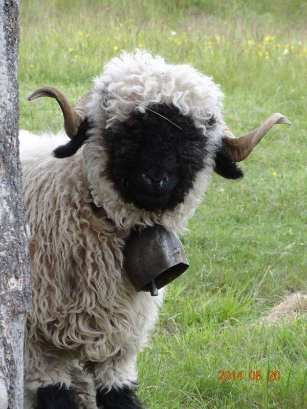 Valais Blacknose Sheep | Animania ☺ | Animals beautiful, Farm