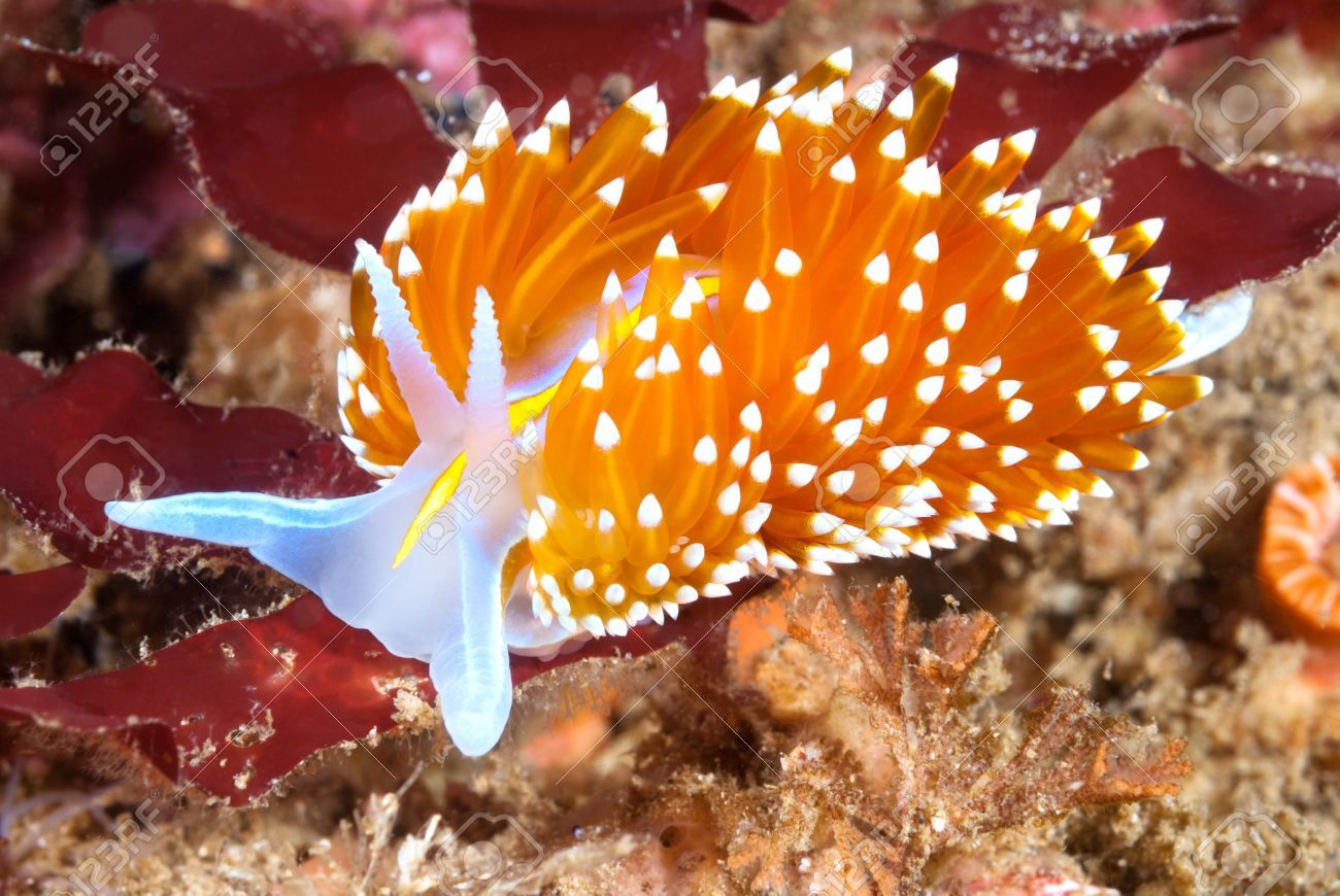 A Aeolid Nudibranch Called Hermissenda Crawls Across A Blue Rock ...