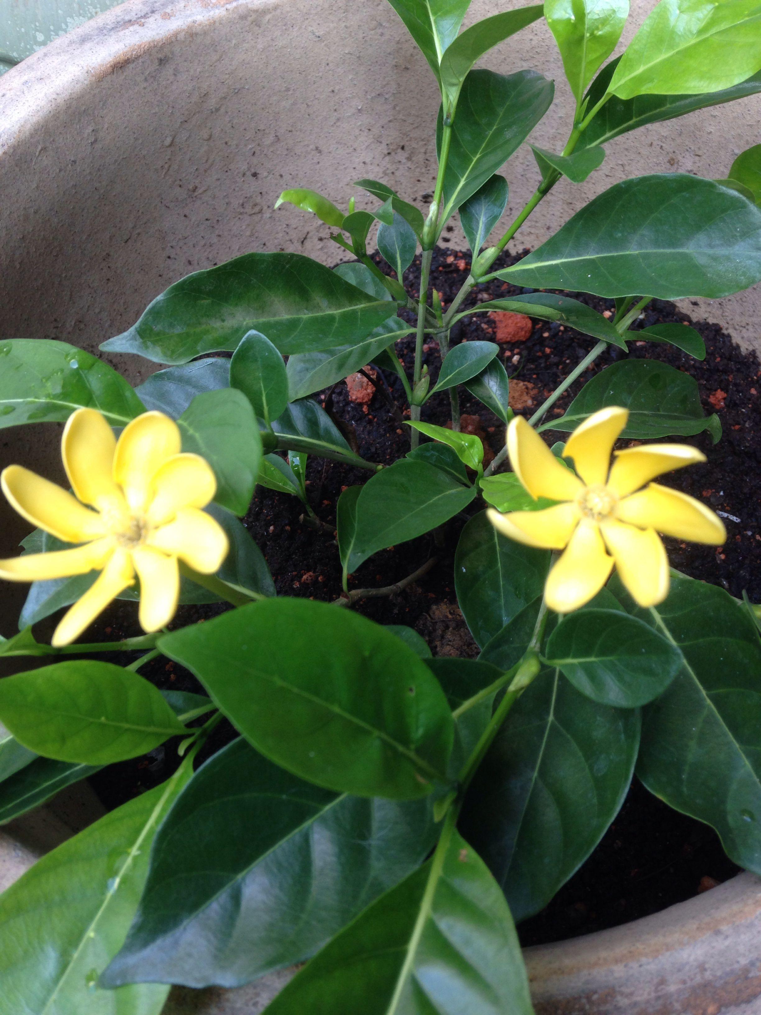 Yellow gardenia flowers pinterest gardenias flowers and gardens yellow gardenia mightylinksfo
