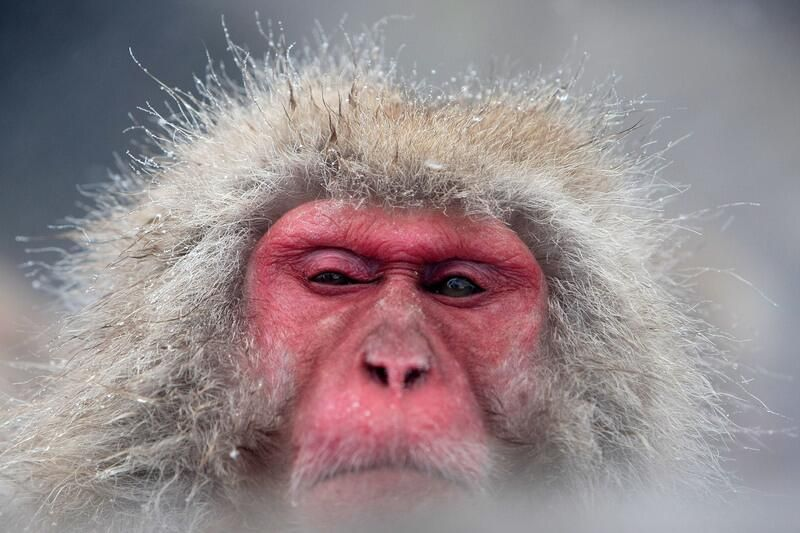 Discover and Know on Twitter | Macaque monkey, Japanese ...