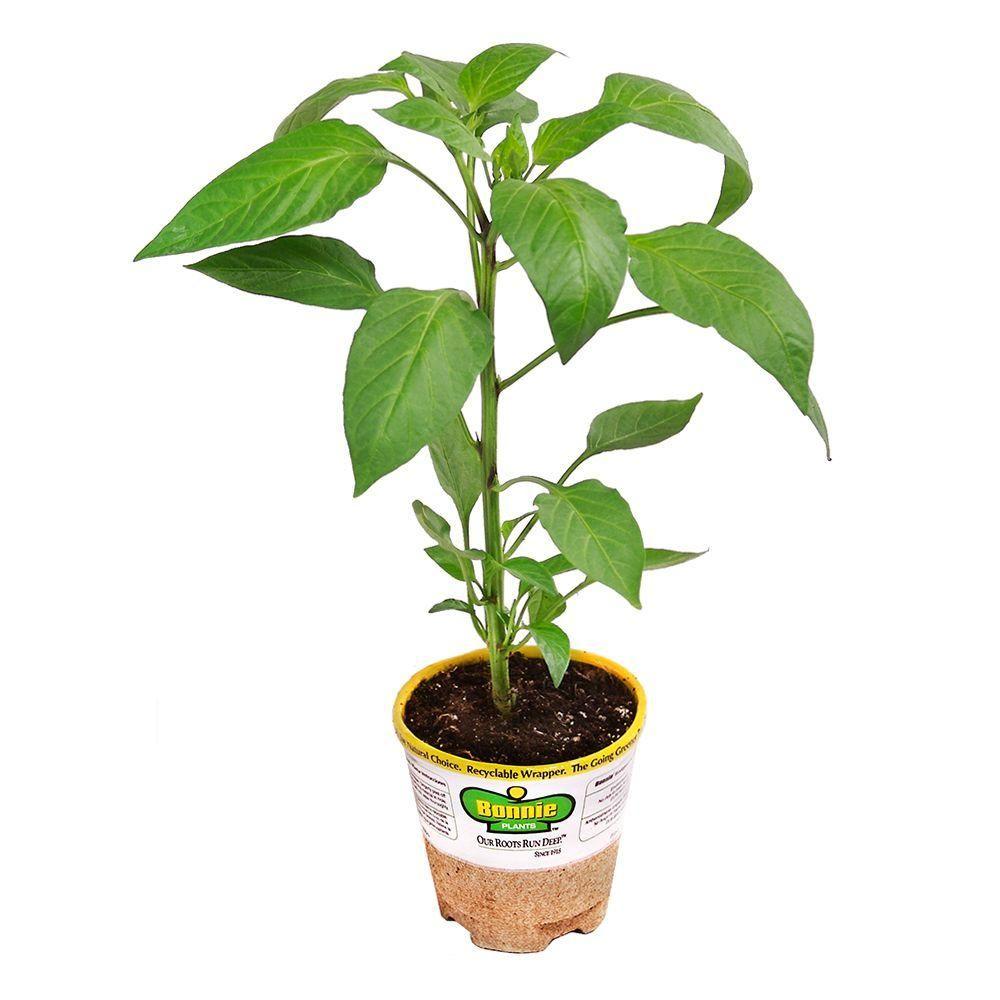 Bonnie Plants 4 5 In Dragon Hot Cayenne Pepper 139 The 400 x 300