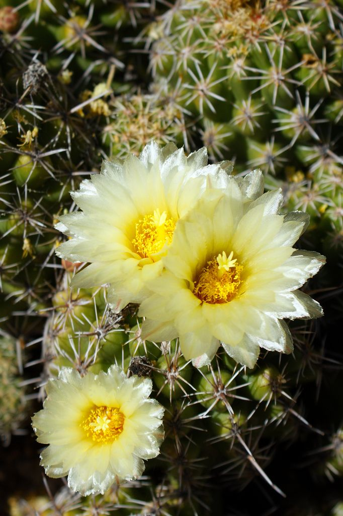 Cactus Flowers at Desert Botanical Garden   Flickr - Photo Sharing!