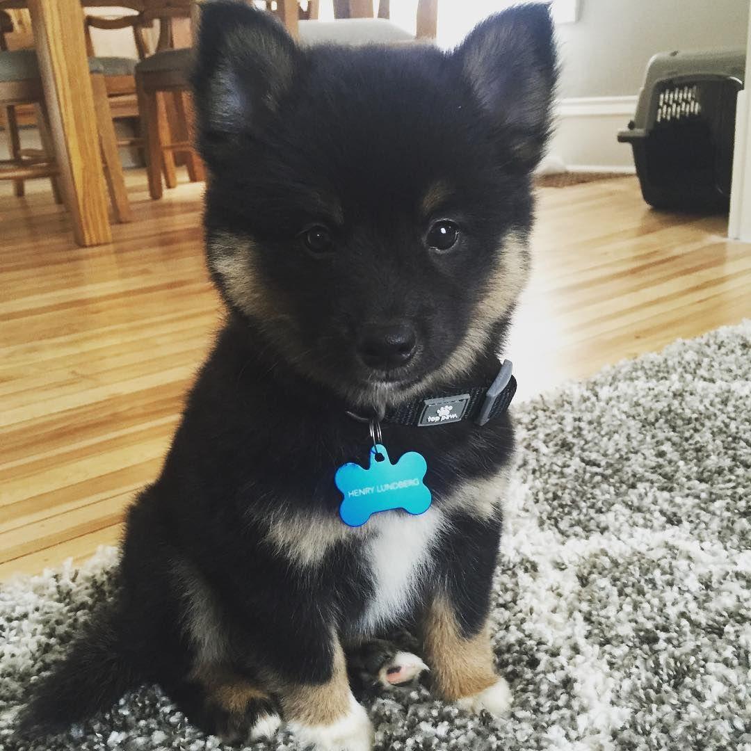 Pin On Shiba Inu Mixed Dogs Hybrid Puppies