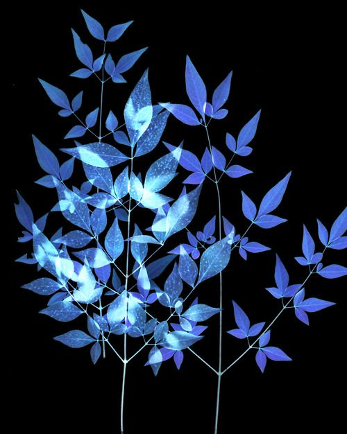 blue leaves | Jack Barnosky #photography | http://flic.kr/p/ccquLy