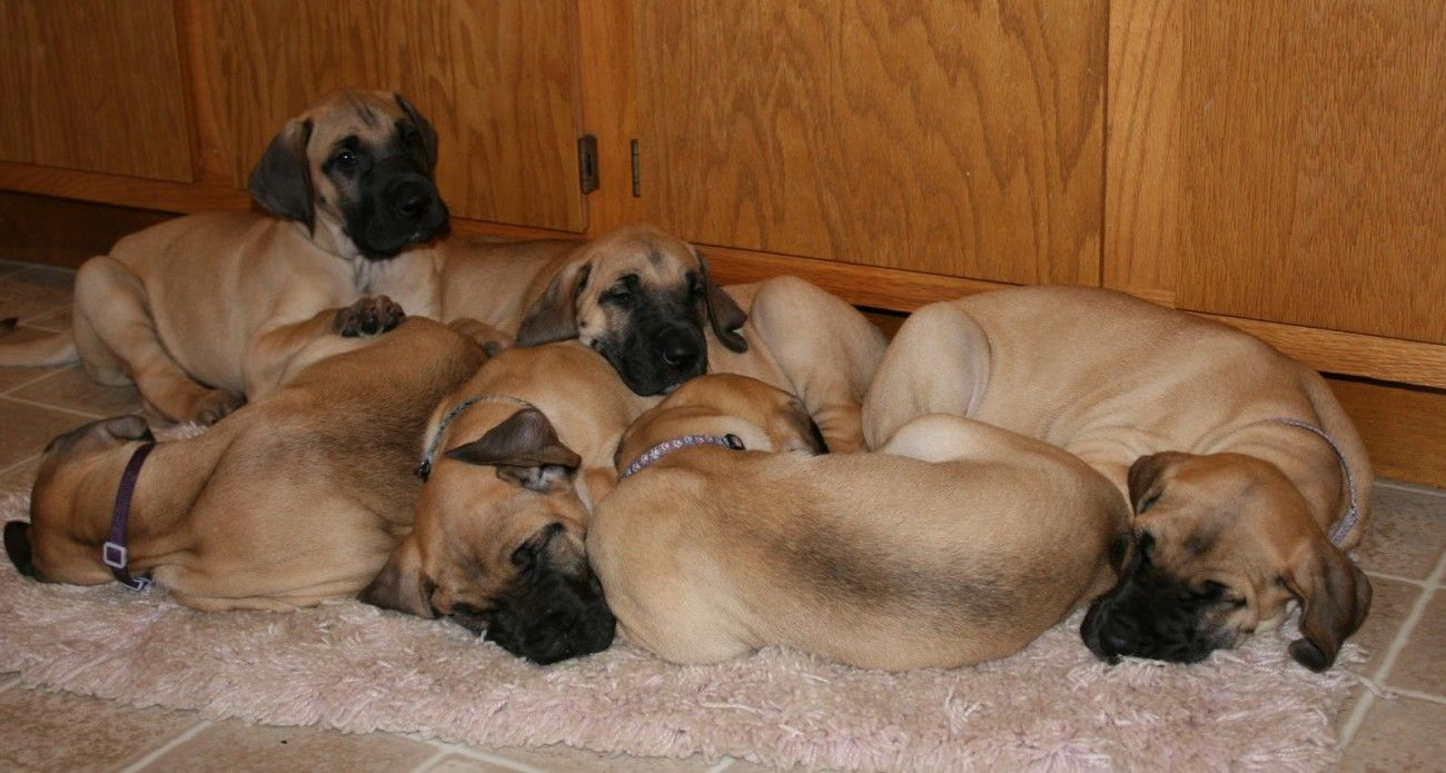 Fawn great dane puppies with images great dane great
