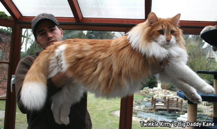 Big Daddy Kane Norwegian Forest Cat Twinkle Kitty Norwegian Forest Cat Forest Cat Cats
