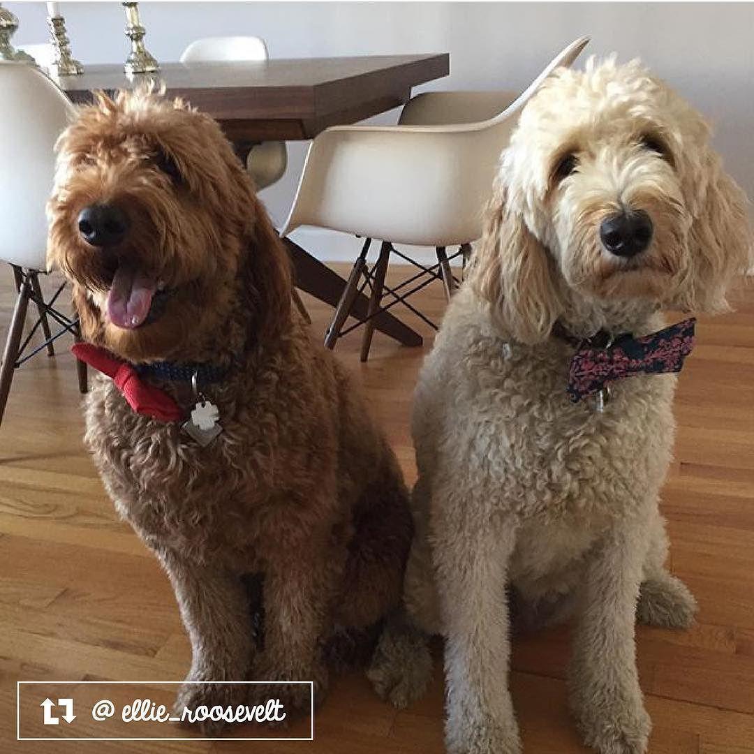 Ellie the Goldendoodle and Hazel the Irish Labradoodle