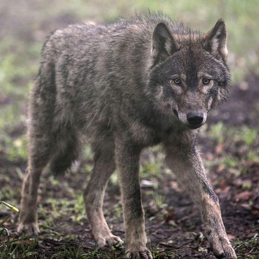 Pin by Patti Calhoun on Wolf / Coyote World 3 Rescue