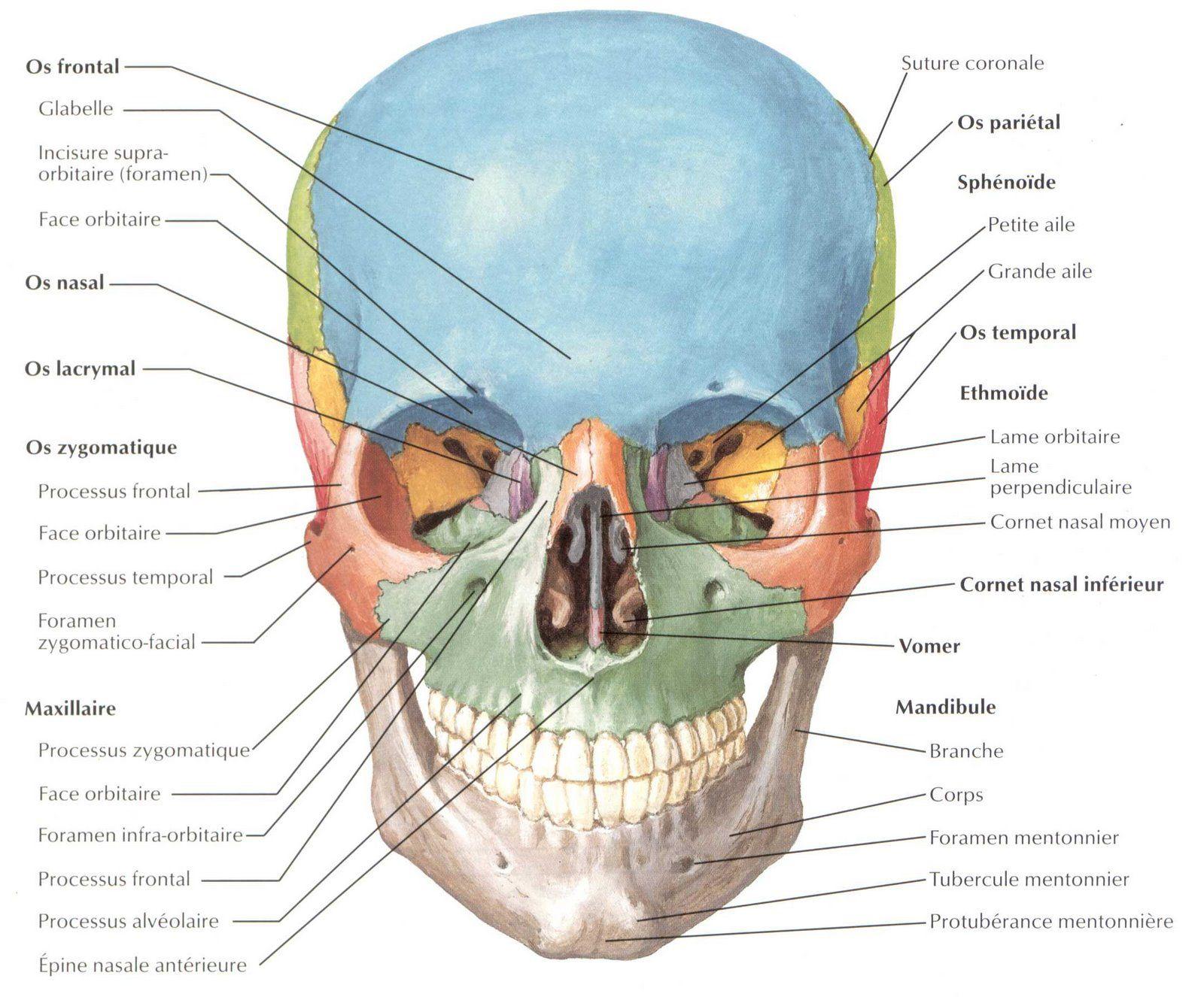 squelette-crane-face.jpg (1600×1326) | Anatomia | Pinterest ...