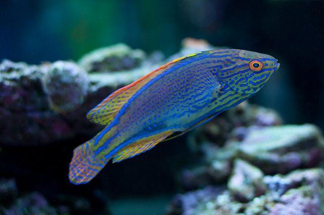 Tideline Aquatics Marine Fish Tropical Fish Fish Pet