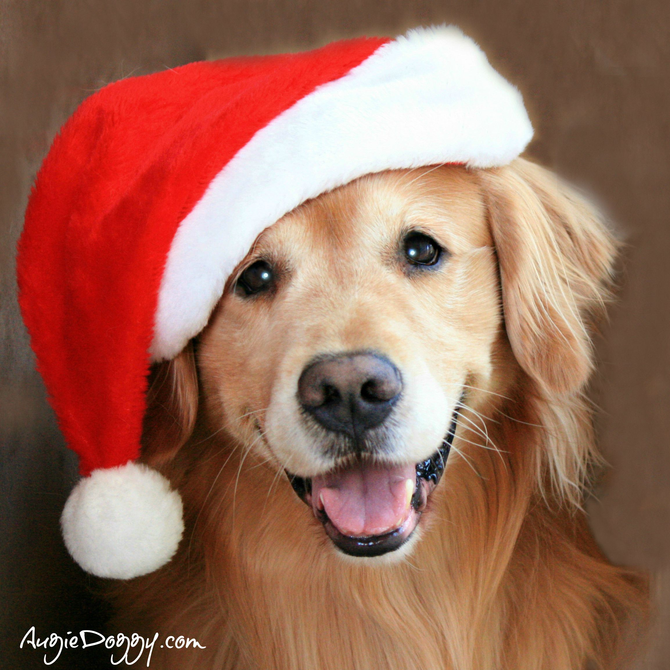 From The Treat Jar Blog Christmas Dog Dogs Golden Retriever Cute Dog Clothes