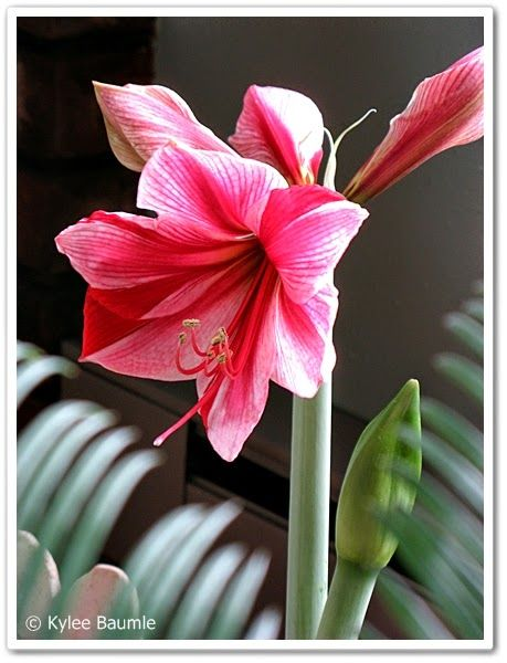 Hippeastrum 39 Gervase 39 For As Much As I Dread Winter Every Year There Are Some Things About It That I Look Amaryllis Flowers Amaryllis Amaryllis Care