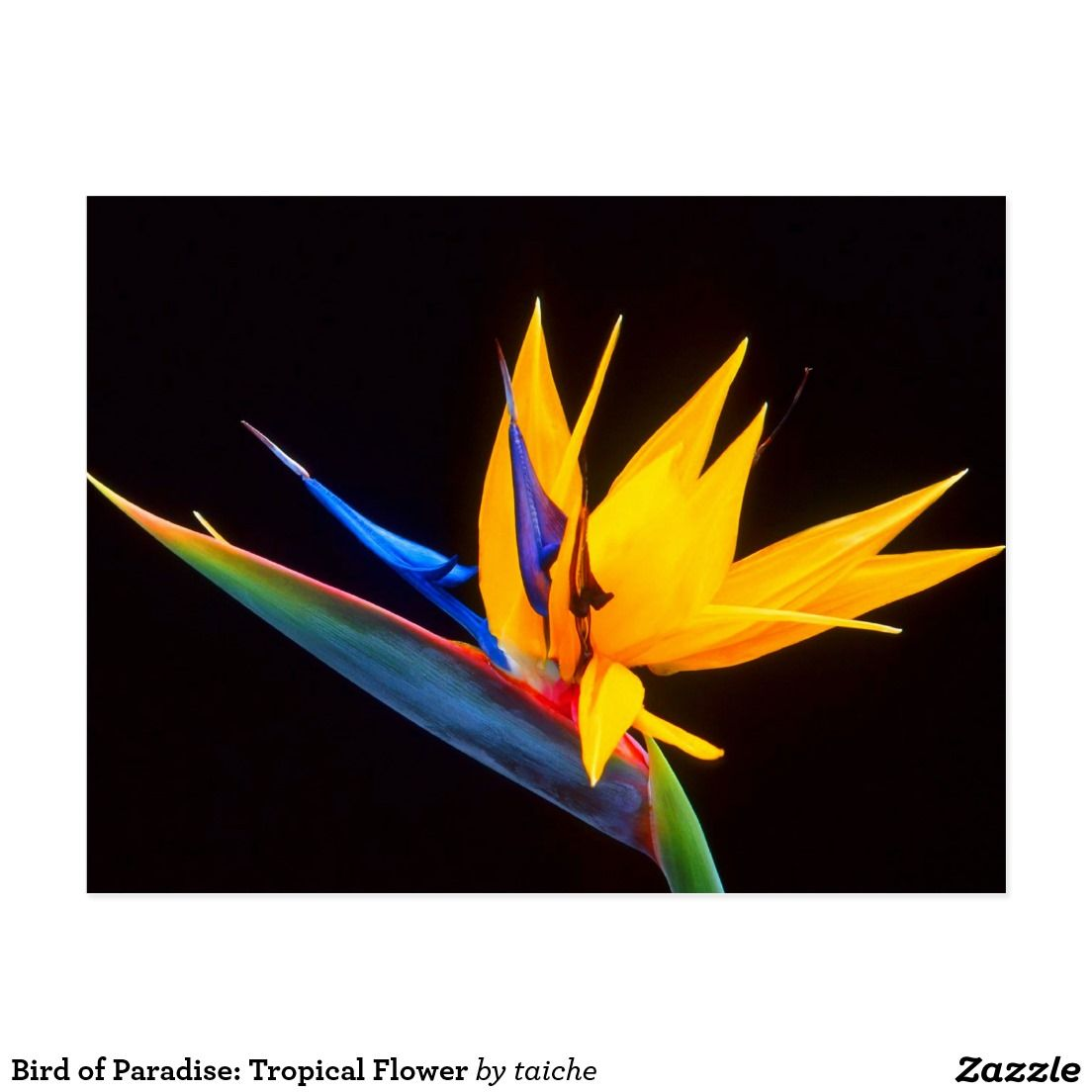 Bird Of Paradise Tropical Flower Postcard Zazzle Com In 2020 Birds Of Paradise Flower Birds Of Paradise Most Beautiful Flowers