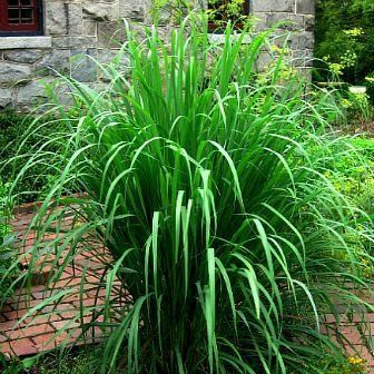 Absolutely Essential To Asian Cooking Lemongrass Is Easy To Grow But Plants Are Hard To Find A Perennial Bunching Grass F Plants Container Plants Lemon Grass