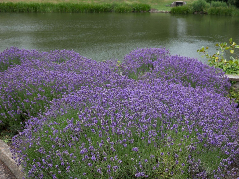 echter lavendel lavandula angustifolia garten pinterest g rten. Black Bedroom Furniture Sets. Home Design Ideas