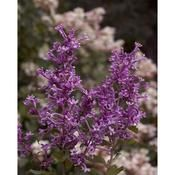 Bloomerang lilac, a rebloomer!