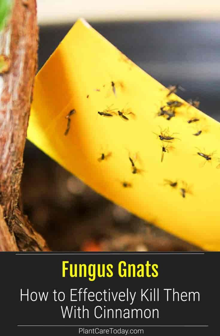 How To Effectively Control Fungus Gnats Using Cinnamon