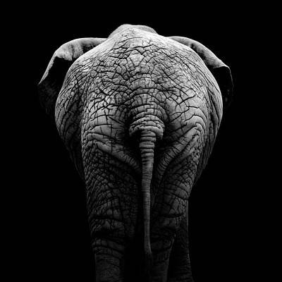 Photo of Portrait Of Elephant In Black And White II by Lukas Holas