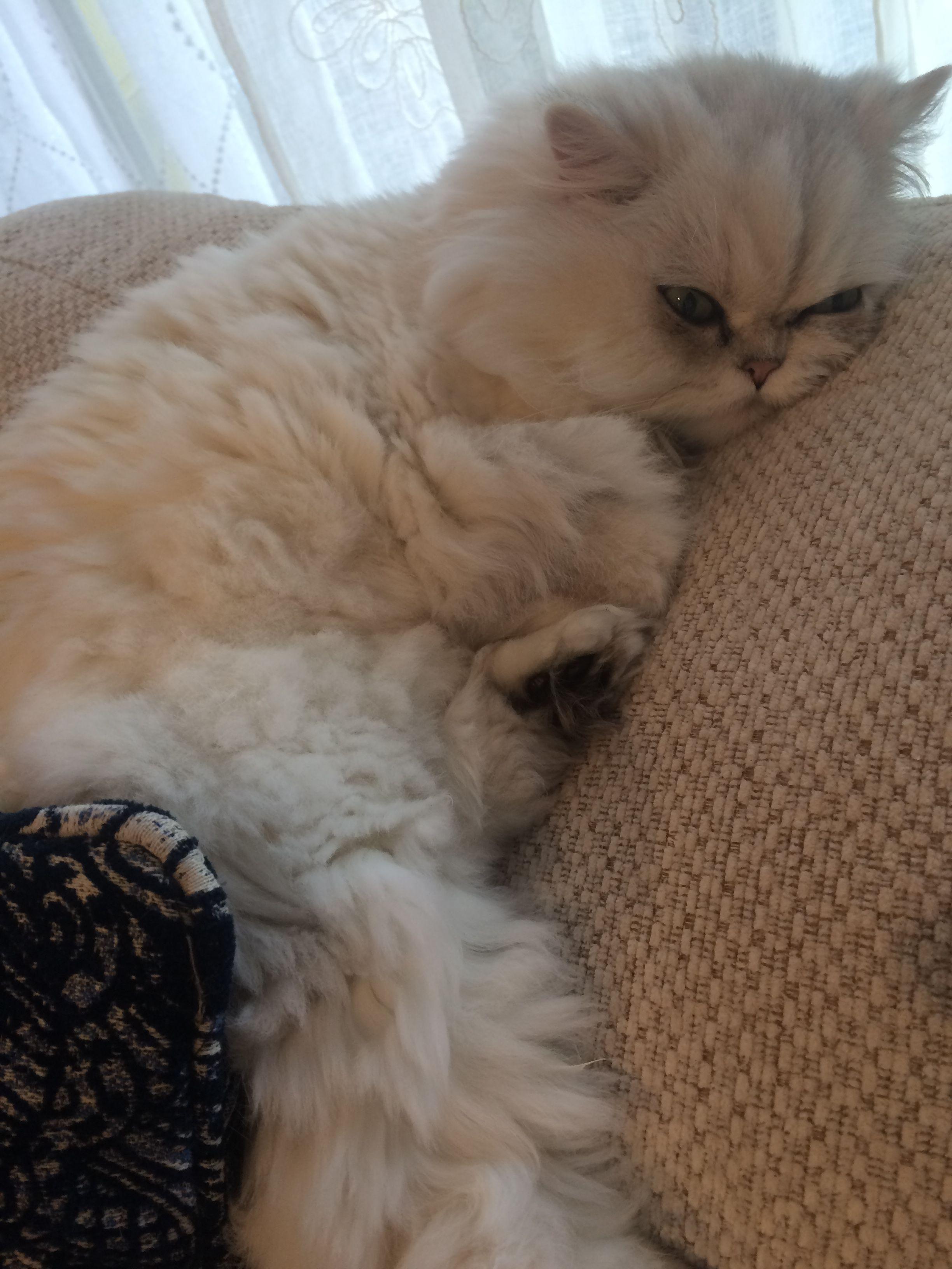 Pin By Mira V On My Persian Cat Persian Cat Cats Teacup Kitten