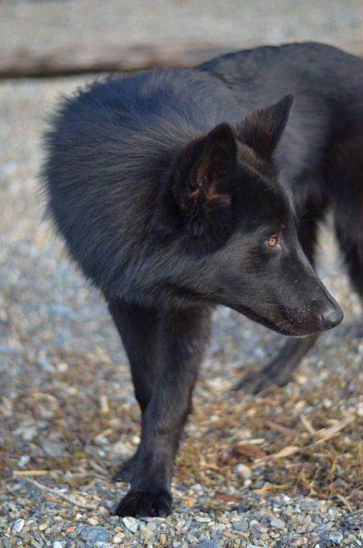 Alaskan Noble Companion Dog Yarrow Google Search Hot