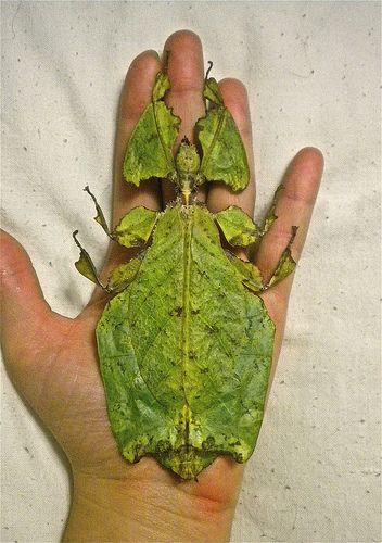 100 Leaf Mimic Insects Ideas Insects Beautiful Bugs Bugs And Insects