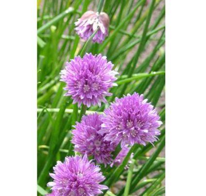 Buy Allium schoenoprasum (Chives) online from Jacksons Nurseries