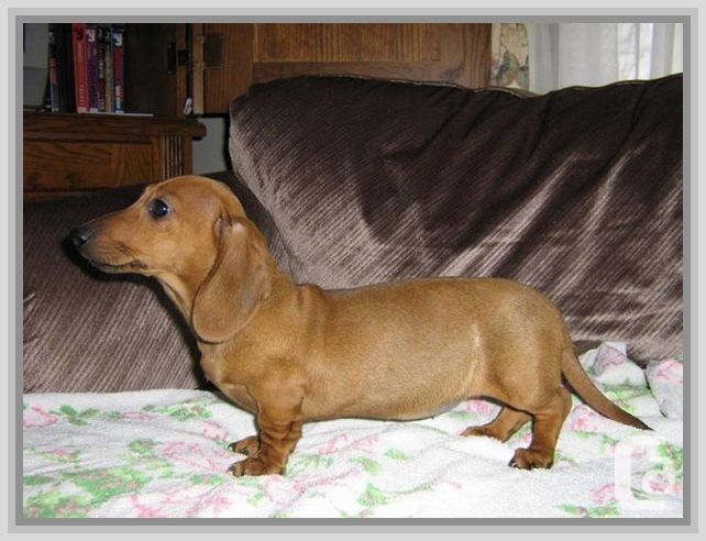 Miniature Long Haired Dachshund Puppies For Sale In Arkansas There