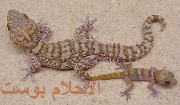 تفسير البرص الوزغ في الحلم تفسير البرص لكل حلم الاحلام بوست Lizard Animals