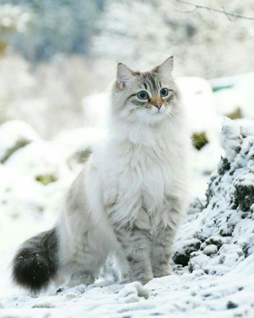 Neva Masquerade Siberian Cat Lt 3https Ift Tt 2yqf7z4 Cats Cute Cats Siberian Cat
