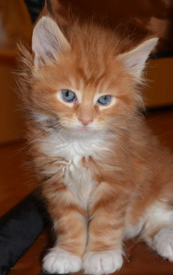 Pin On Maine Coon Cats Kittens