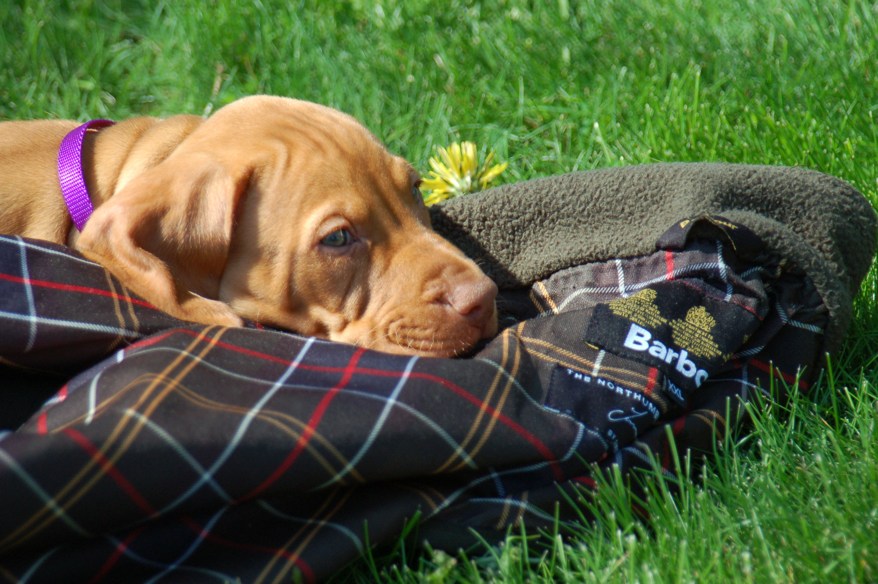 Taking a rest on a Barbour gilet after a hard day running