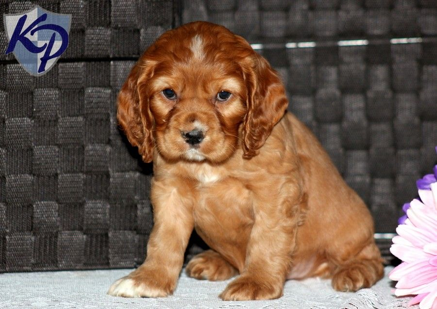 Puppy Finder Find Buy A Dog Today By Using Our Petfinder Cocker Spaniel Puppies Puppy Finder Puppies