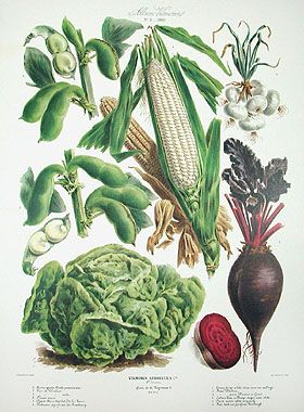 FAVA BROAD BEAN VEGETABLE PLANT ILLUSTRATION PAINTING ART REAL CANVAS PRINT
