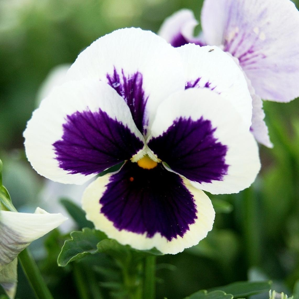 Pansy Seeds Swiss Giants Silverbride Purple Flower Seeds Pansies Seeds Garden Beds