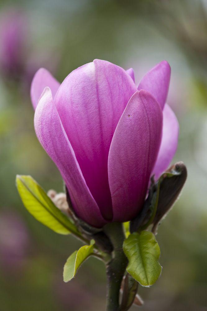 magnolia 39 apollo 39 photo by rachel warne gardens. Black Bedroom Furniture Sets. Home Design Ideas