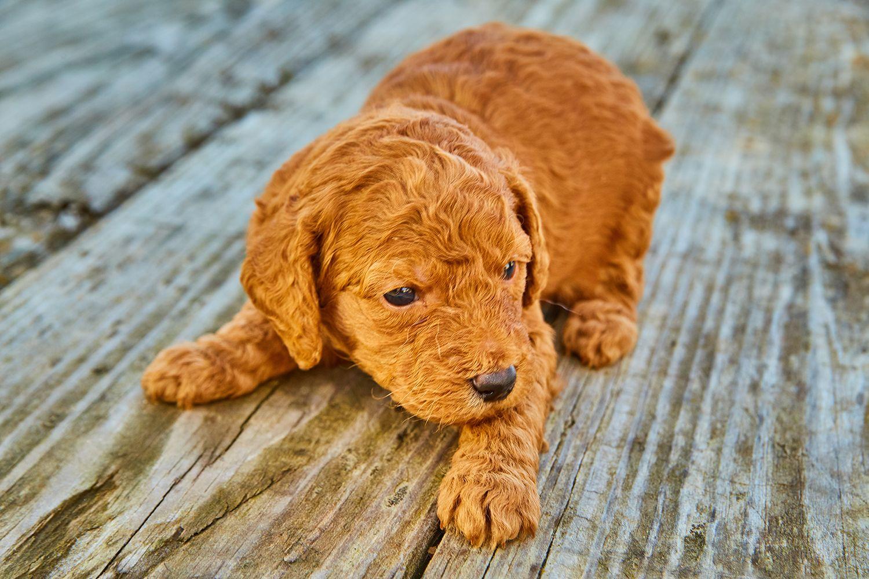 Maltipoo Puppies Fort Wayne Indiana References