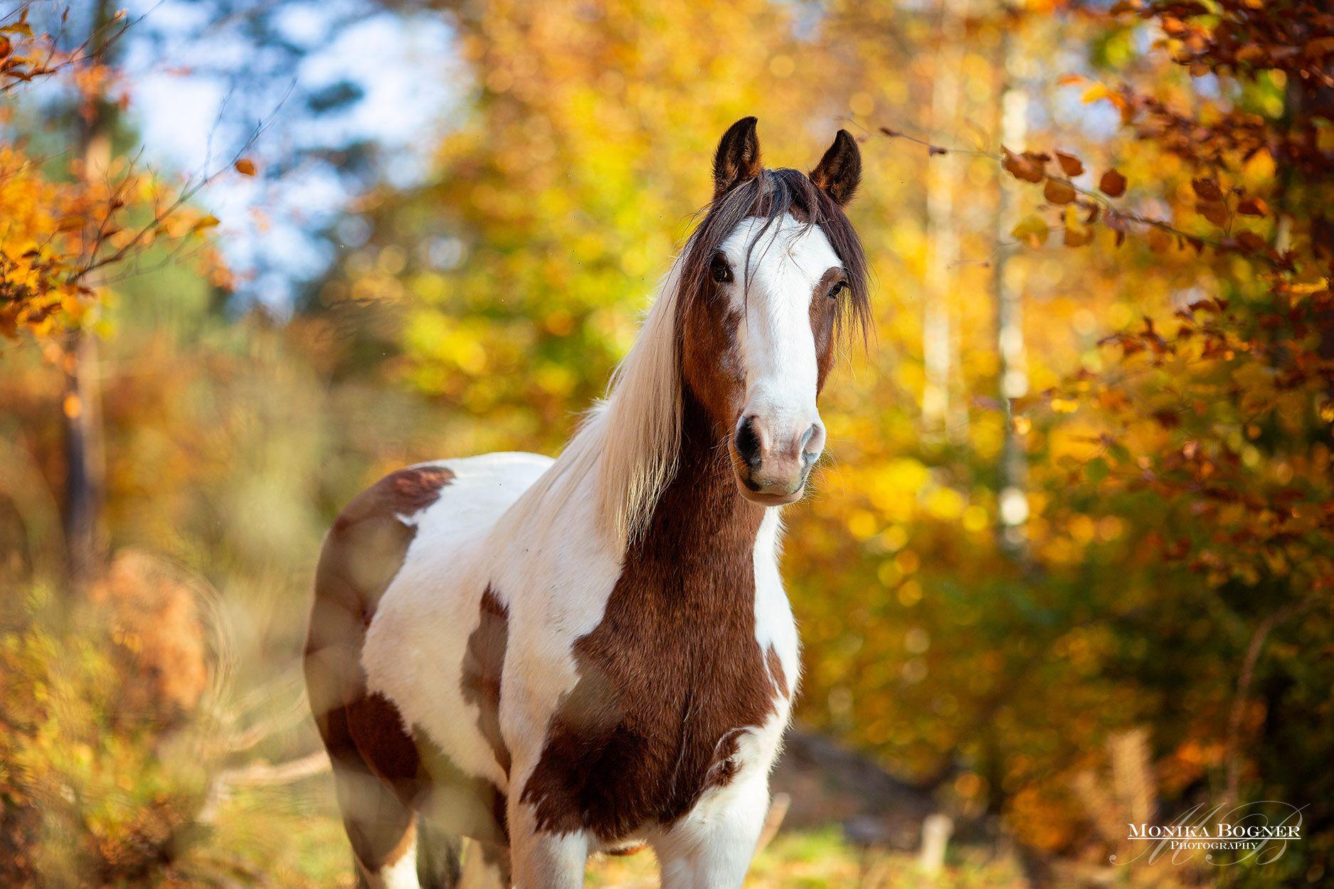 Tinker Irish Cob Im Herbst Fotoshooting Mit Pferd Pferde