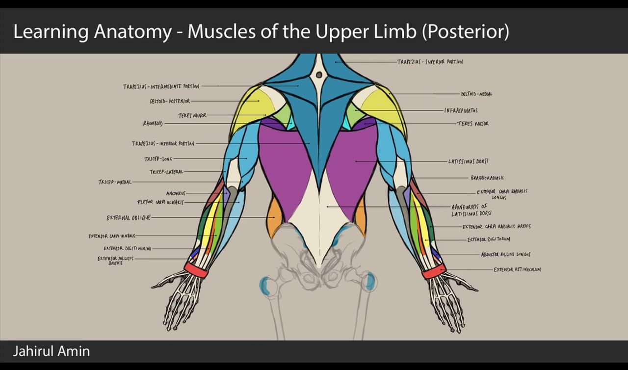 08. Learning Anatomy - Muscles of the Upper Limb (Posterior ...