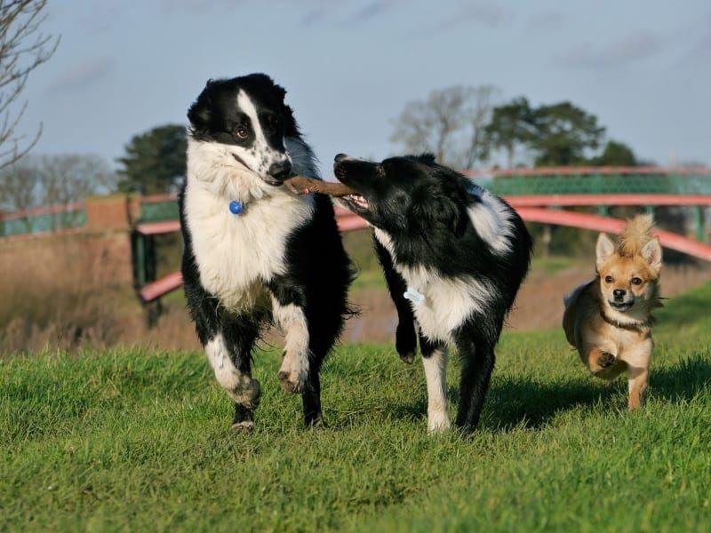 What Do Dogs Like To Do Most Dogs Would Tell You These 10 Things Socializing Dogs Dogs Border Collie Dog